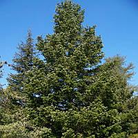 Пихта цельнолистная (контейнер 3л, размер растения 15-20см)