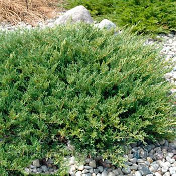 Можжевельник горизонтальный Андорра Компакт  (контейнер Р9, размер растения 10-15см)