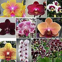 """Набор из двух орхидей от Miki, цвет сюрприз. Без цветов, горшок размер 2.5"""""""