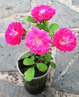 Роза плетистая Крымсон рамблер. Укорененые черенки в Д5. Опт от 1 шт.