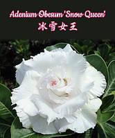 """Саженцы адениума Adenium Obesum 'Snow Queen' размер 5"""" без цветов"""