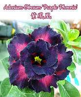 "Саженцы адениума Adenium Obesum 'Purple Phoenix'  размер 5"" без цветов"