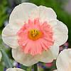 НАРЦИС Pink Parasol  12/14 Нідерланди (2 шт в упаковці)