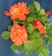 Роза полуплетистая Вестерленд. Корнесобственная в контейнере Р9.