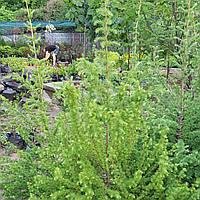 Модрина опадаюча / європейська (Larix decidua / europea) ком 2м