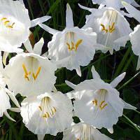 НАРЦИС White Petticoat  12/14 Нідерланди (2 шт в упаковці)