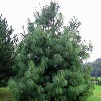 Сосна Гималайская (Pinus wallichiana) 3л