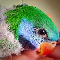 Китайский кольчатый попугай ( Psittacula derbiana)