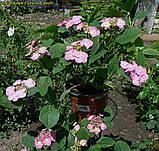 Гортензия крупнолистная Cotton Сandy (Хлопковая конфета)  4 года, фото 3