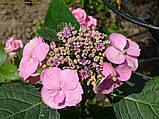 Гортензия крупнолистная Cotton Сandy (Хлопковая конфета)  4 года, фото 4