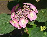 Гортензия крупнолистная Cotton Сandy (Хлопковая конфета)  4 года, фото 6