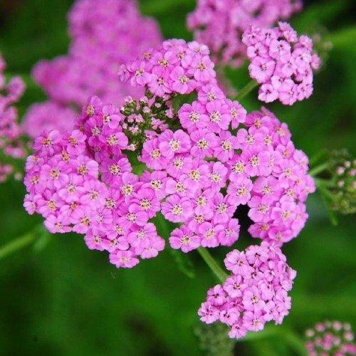 Тысячелистник Lilac Beauty (саженцы)