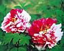 Пион Twin Beauty Er Qiao древовидный (саженцы), фото 6