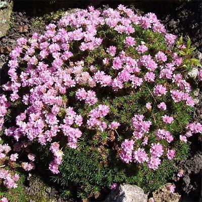 Армерия Juniperifolia (саженцы)