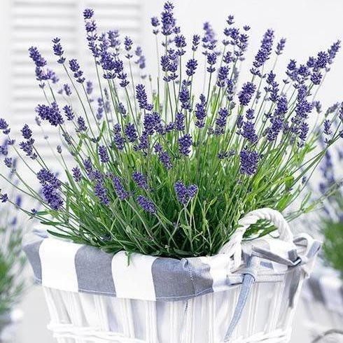 Лаванда Essence Purple (саженцы)