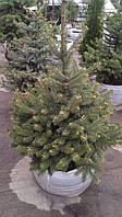 Ель голубая (Picea pungens glauca)