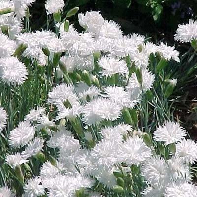 Гвоздика Plumarius Double White (саженцы)