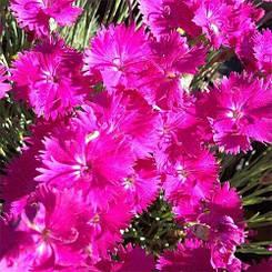 Гвоздика Dinetta Purple (саженцы)