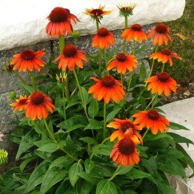 Эхинацея Flamenco Orange (саженцы)