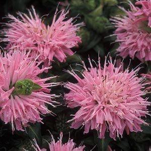 Монарда Petit Pink Delight (саженцы)