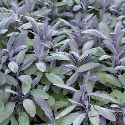 Сальвия Purple Beauty (саженцы)