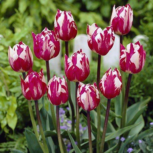 Тюльпан Rems Sensation (луковицы) 3 шт