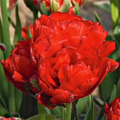 Тюльпан Redwood (луковицы) 3 шт