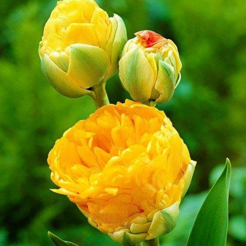 Тюльпан Double Beauty of Apeldoorn (луковицы) 3 шт