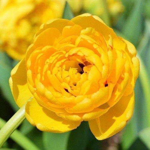 Тюльпан Yellow Pomponnet (луковицы) 3 шт