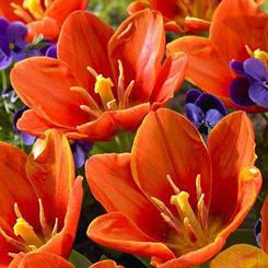Тюльпан Love Song (луковицы) 3 шт