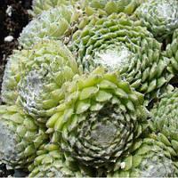 Каменная роза Tomentosum (саженцы)
