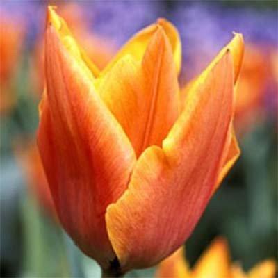 Тюльпан Аmadeus Mozart (луковицы) 3 шт