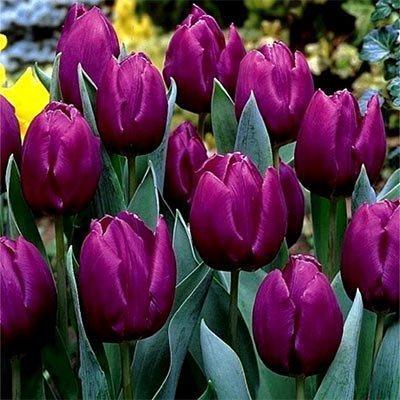 Тюльпан Purple Prince (луковицы)  3 шт
