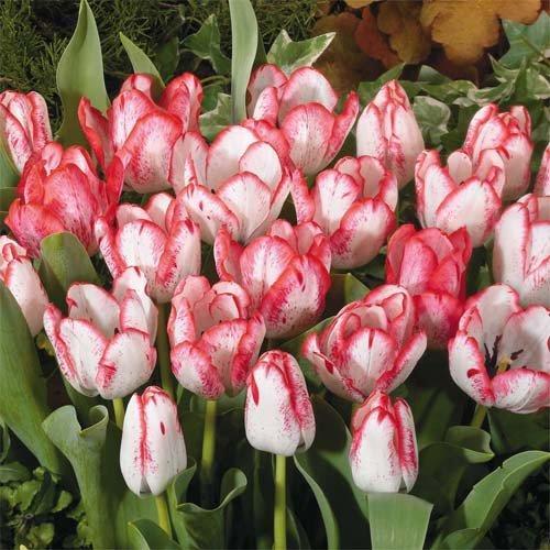 Тюльпан Denise (луковицы) 4 шт