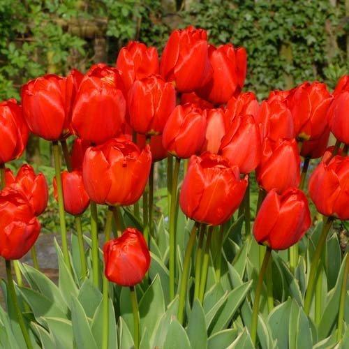 Тюльпан Darwidesign (луковицы)  3 шт