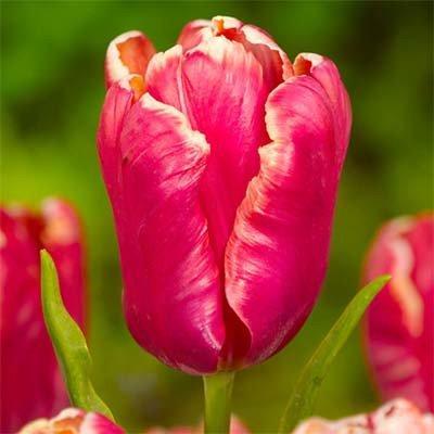Тюльпан Lucky Parrot (луковицы) 5 шт