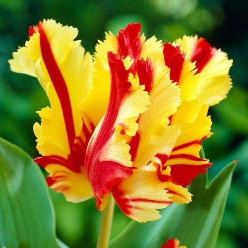 Тюльпан Flaming Parrot (луковицы) 3 шт