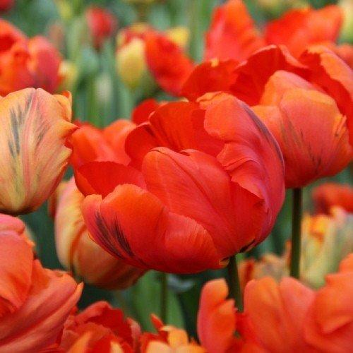 Тюльпан Flower Power (луковицы) 3 шт