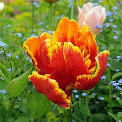 Тюльпан Bright Parrot (луковицы) 5 шт