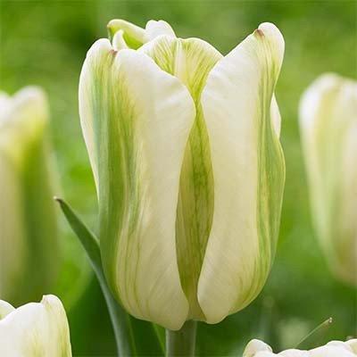 Тюльпан Green Spirit (луковицы) 3 шт