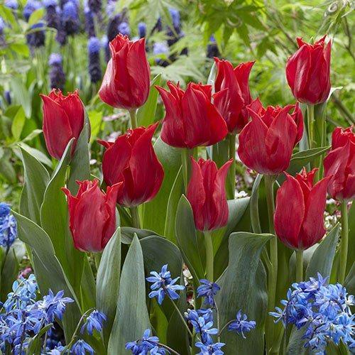 Тюльпан Pretty Woman (луковицы) 3 шт