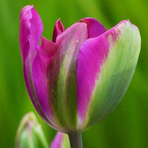 Тюльпан Violet Bird (луковицы) 3 шт