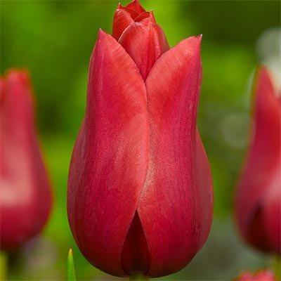 Тюльпан Red Shine (луковицы) 3 шт