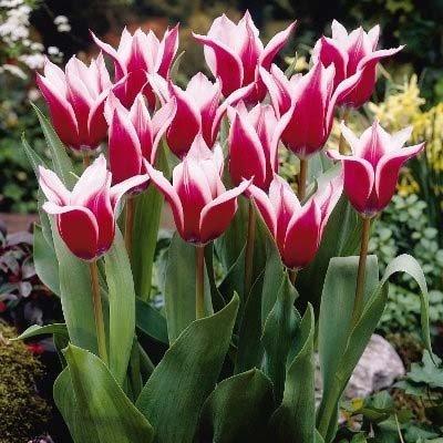 Тюльпан Akita (луковицы) 3 шт