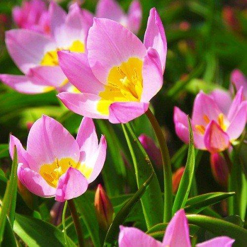 Тюльпан Bakeri Lilac Wonder (луковицы) 5шт