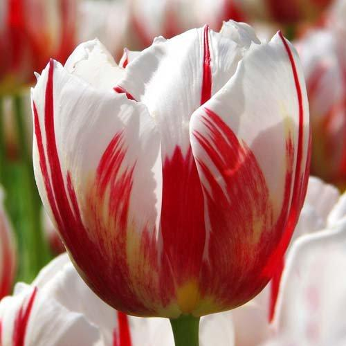 Тюльпан Happy Generation (луковицы) 3 шт