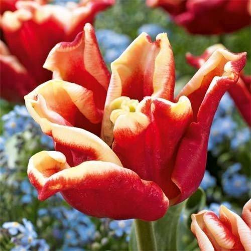 Тюльпан Elegant Crown (луковицы) 3 шт