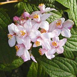 Дейция Kalmiiflora (саженцы)