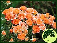 Роза спрей Alegria