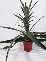Ананас (Ananas) Комнатный плодовый, фото 1